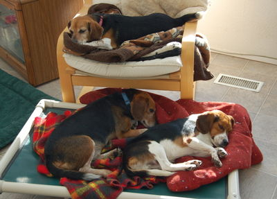 Beagles asleep Dec 14