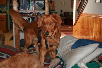 Koda stealing bed