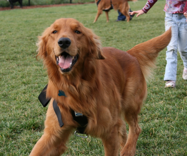 Koda the wobbly Golden
