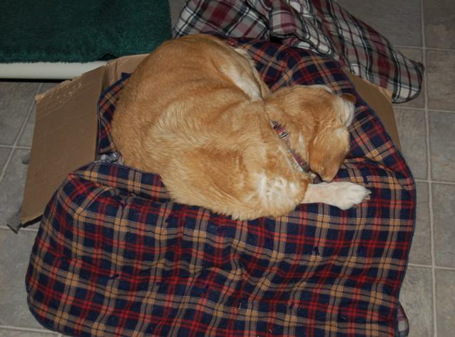 Goldie in blanket box
