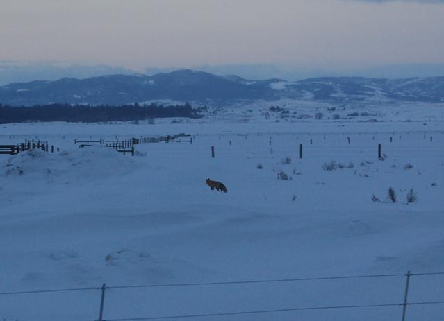 Fox at dawn