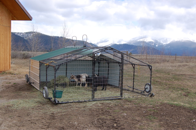 Goats in Pasture Pen