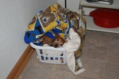 Dexter in laundry basket