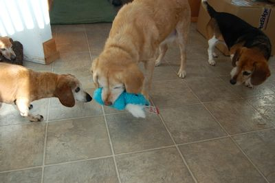 Goldie with toy and friends