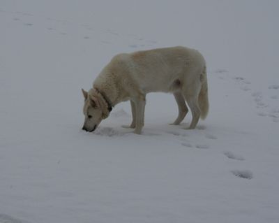 Dusty eating snow 1