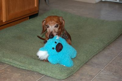 Dexter with blue toy