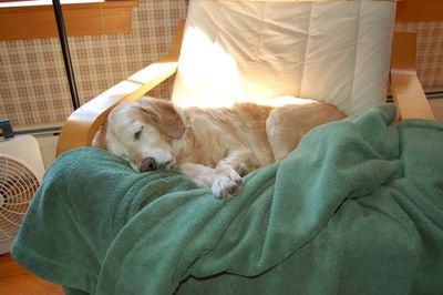 Goldie sleeping for blog