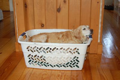 Goldie in basket in Lancaster