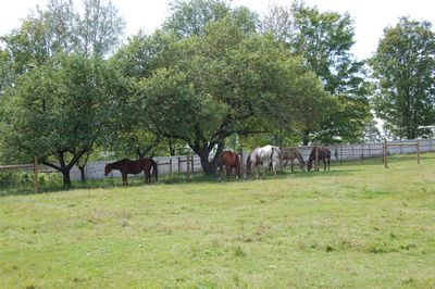 Horses under apple trees