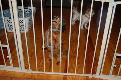 Sophie behind gate