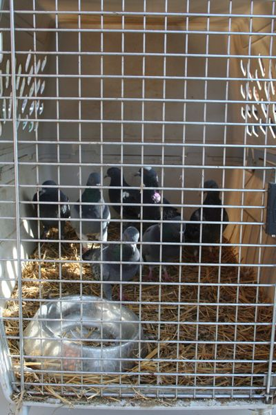 Pigeons in crate
