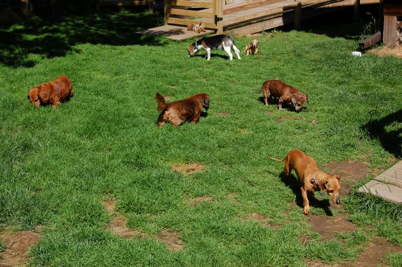 Dogs in front yard June 14