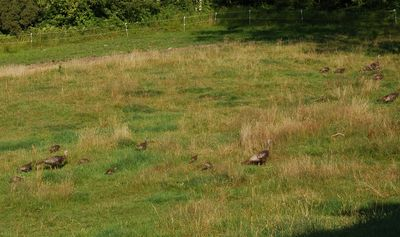 Turkey flock 1