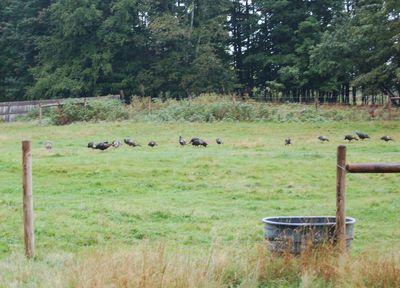 Turkeys at home 3