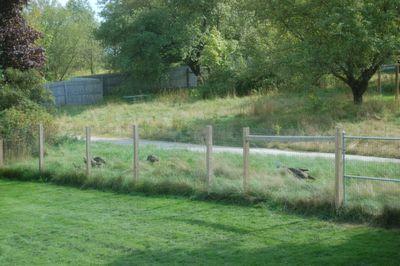 Turkeys at home 1