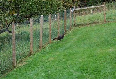 Turkey in dog yard