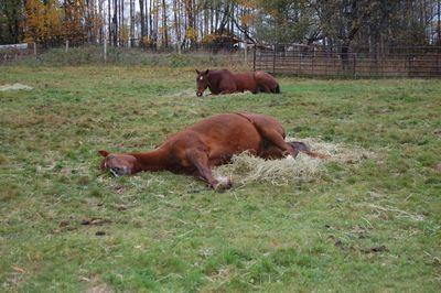 Rosie sleeping on hay