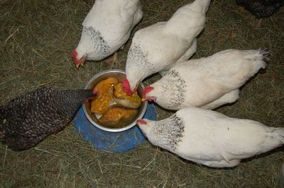 Chickens eating squash