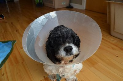 Scamp with cone