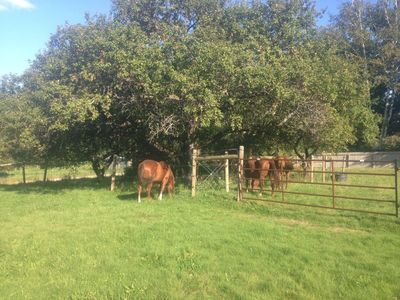 Horses under apple tree August 17