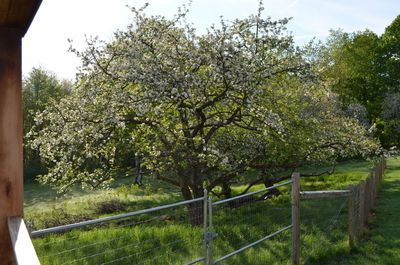Apple blossoms 3