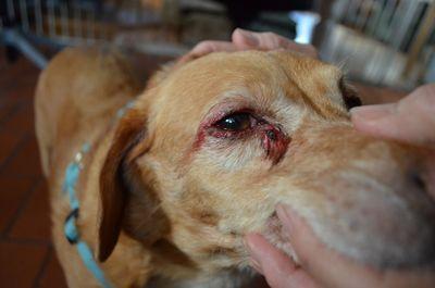 dog eye bleeding