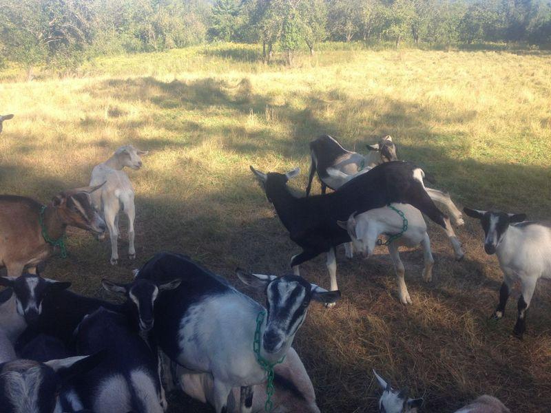 Goats twirling