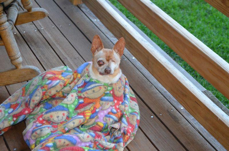 Wilbur in blanket 1