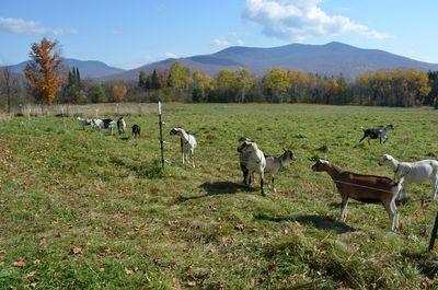 Goats watching Alayne 2