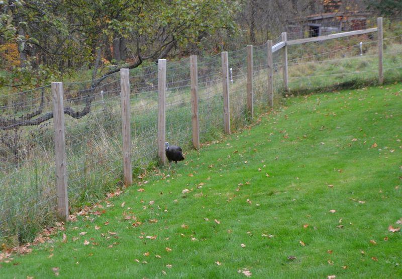 Turkey in front yard 2