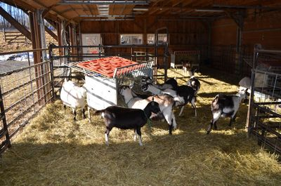 Goat barn interior jan 15