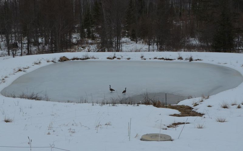 Geese on frozen pond
